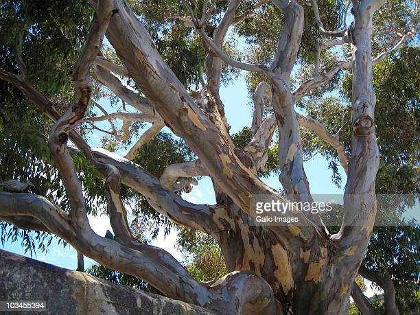 old eucalyptus tree in town of freemantle, freemantle, western australia, australia - eucalyptus tree stock pictures, royalty-free photos & images