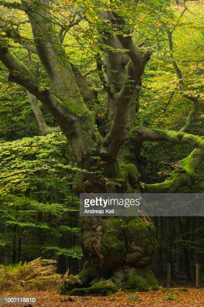 old european beech or common beech (fagus sylvatica), autumn, tinner loh nature reserve, emsland, lower saxony, germany - {{asset.href}} stock-fotos und bilder