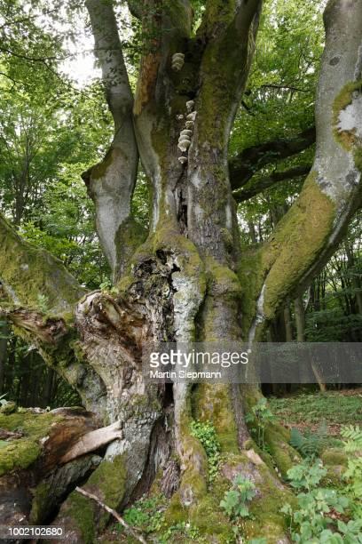 old european or common beech (fagus sylvatica), near oberbach, schwarze berge, rhoen, lower franconia, bavaria, germany - {{asset.href}} stock-fotos und bilder