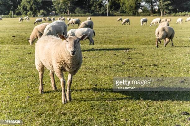 old farm dorn - animals on the farm - lara platman stock pictures, royalty-free photos & images