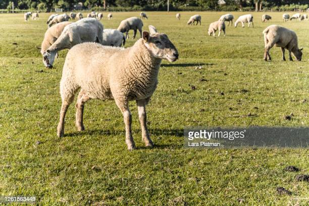 old farm dorn - livestock and fresh food on the farm - lara platman stock pictures, royalty-free photos & images