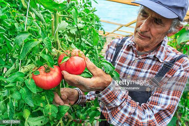 Old farm worker harvetsing tomatoes from greenhouse