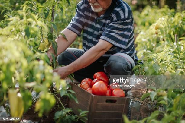Tomates de harvetsing ancienne ferme travailleur