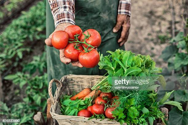 Old farm worker showing a bunch of tomatoes