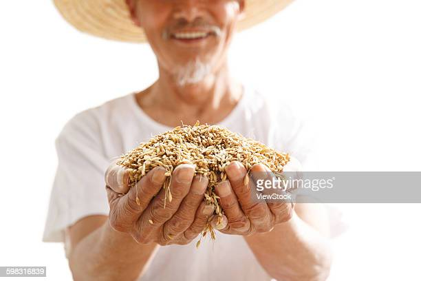 Old farmers holding the rice