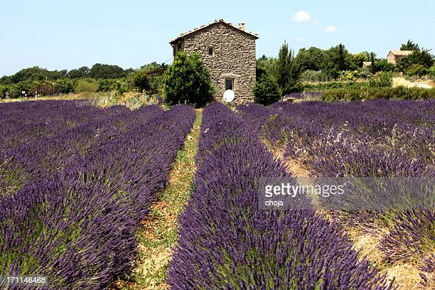 Old farmhouse in Provence with lavender field...France