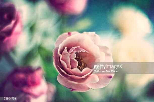 old fashioned rose - catherine macbride ストックフォトと画像