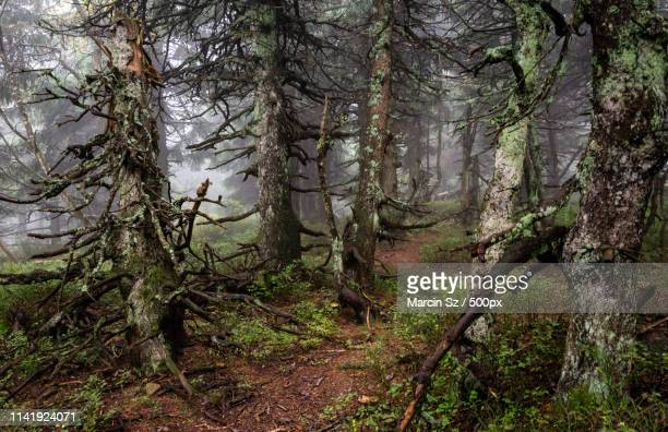 old forest - disorder - babia góra mountain stock pictures, royalty-free photos & images