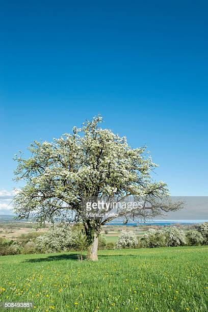 Old fruit tree in blossom on a meadow, Baden-Wurttemberg, Germany