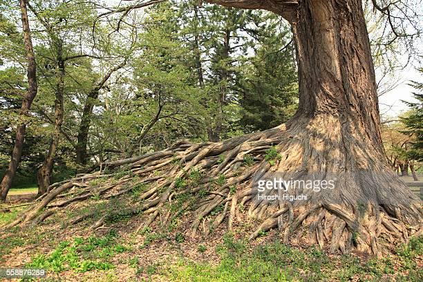 old ginkgo tree, hirosaki, japan - hirosaki castle stock pictures, royalty-free photos & images