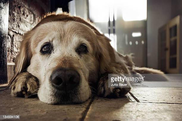 Old golden retriever with sad face