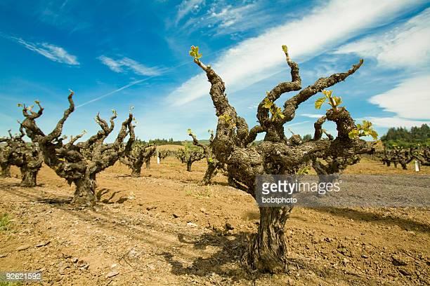 Old Grape Vine