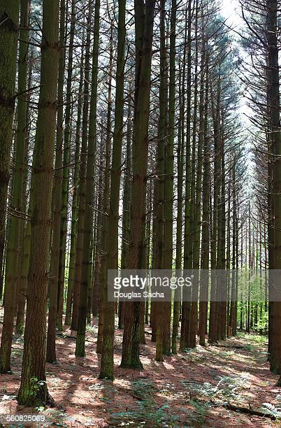 old growth of eastern white pine trees - eastern white pine stock pictures, royalty-free photos & images