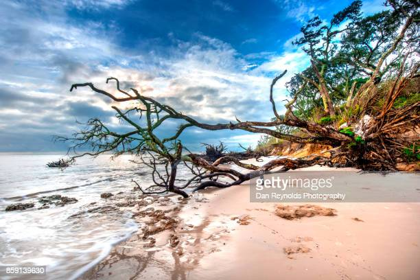 Old Growth Tree  and Beach against blue sky