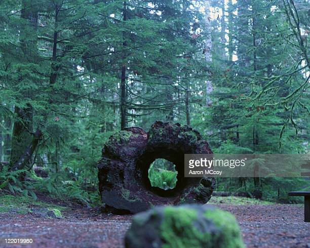 Old hollowed out log, Olympic National Park, Washington.USA