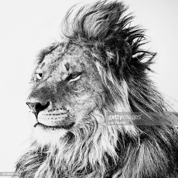 old king - leones cazando fotografías e imágenes de stock