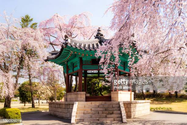 old korean style pavilion with cherry blossom tree in namasan garden during spring season in seoul city, south korea. landscape and travel, or nature and sightseeing concept. - パビリオン ストックフォトと画像