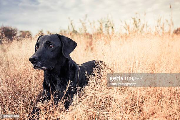 old labrador - hunting dog stock pictures, royalty-free photos & images