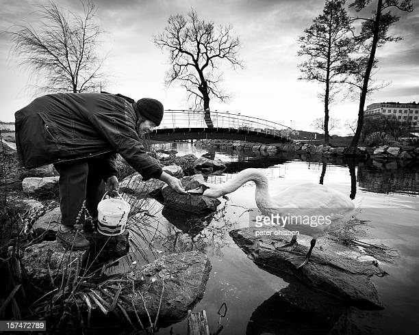 Old lady feeding swans during the winter period.