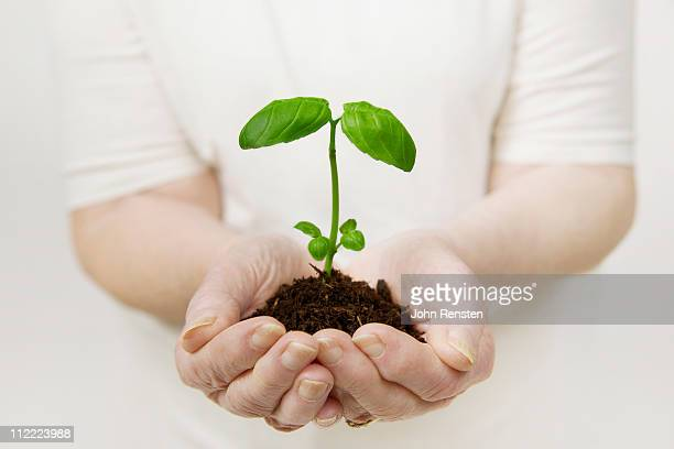 Old lady's hands holds small green plant seedling