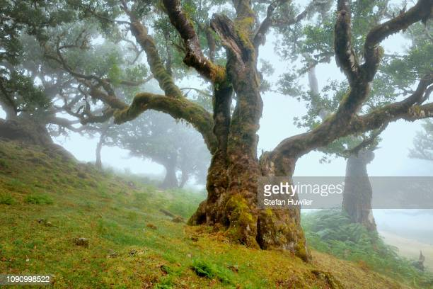 old laurel forest or laurissilva forest, stinkwood (ocotea foetens) trees in fog, unesco world heritage site, fanal, madeira, portugal - {{asset.href}} stock pictures, royalty-free photos & images