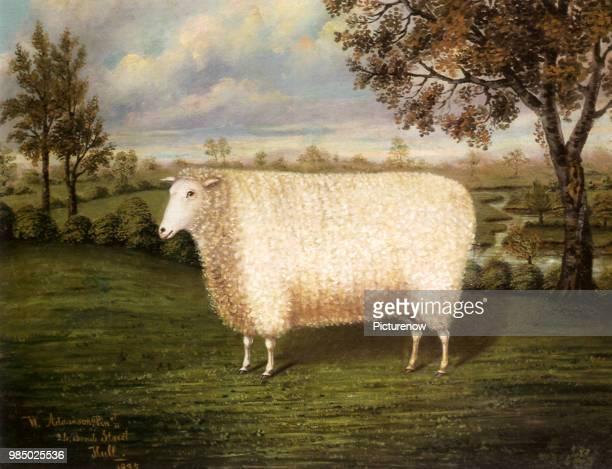 Old Lincoln Sheep Adamson W
