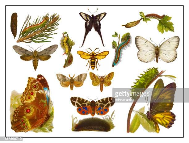 old lithograph of butterflies - lithograph stock pictures, royalty-free photos & images