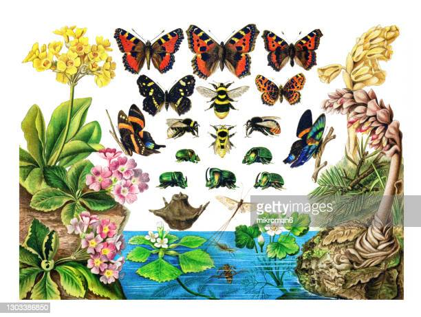 old lithograph of entomology. butterflies, bees, beetles - illustration stock pictures, royalty-free photos & images