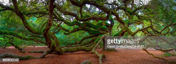 old live oak in the south - live oak tree stock pictures, royalty-free photos & images