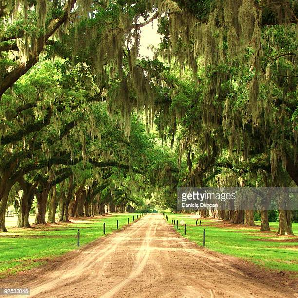 old live oaks with spanish moss by a dirt road. - boone hall plantation stock pictures, royalty-free photos & images