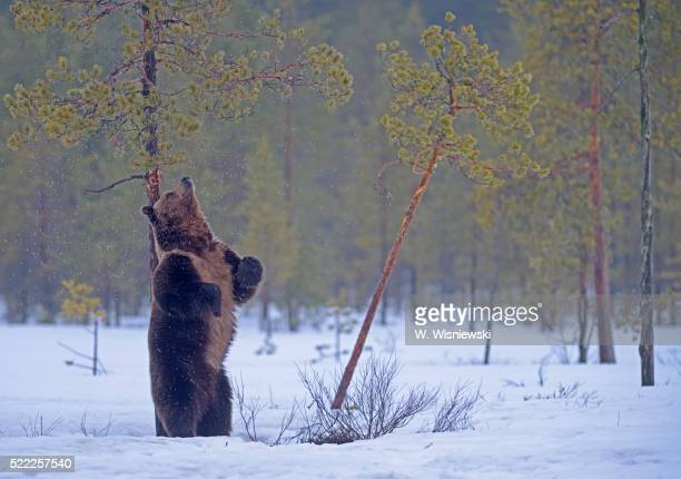 Old male brown bear scratching his back at a moor pine tree