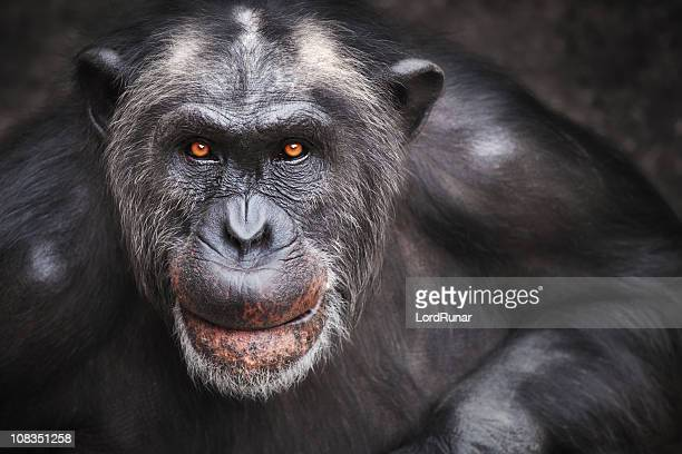 Old male chimpanzee