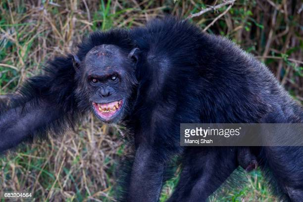 Old Male Chimpanzee showing aggression