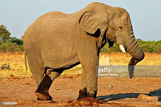 Old male elephant Loxodonta africana Savuti National Park Botswana