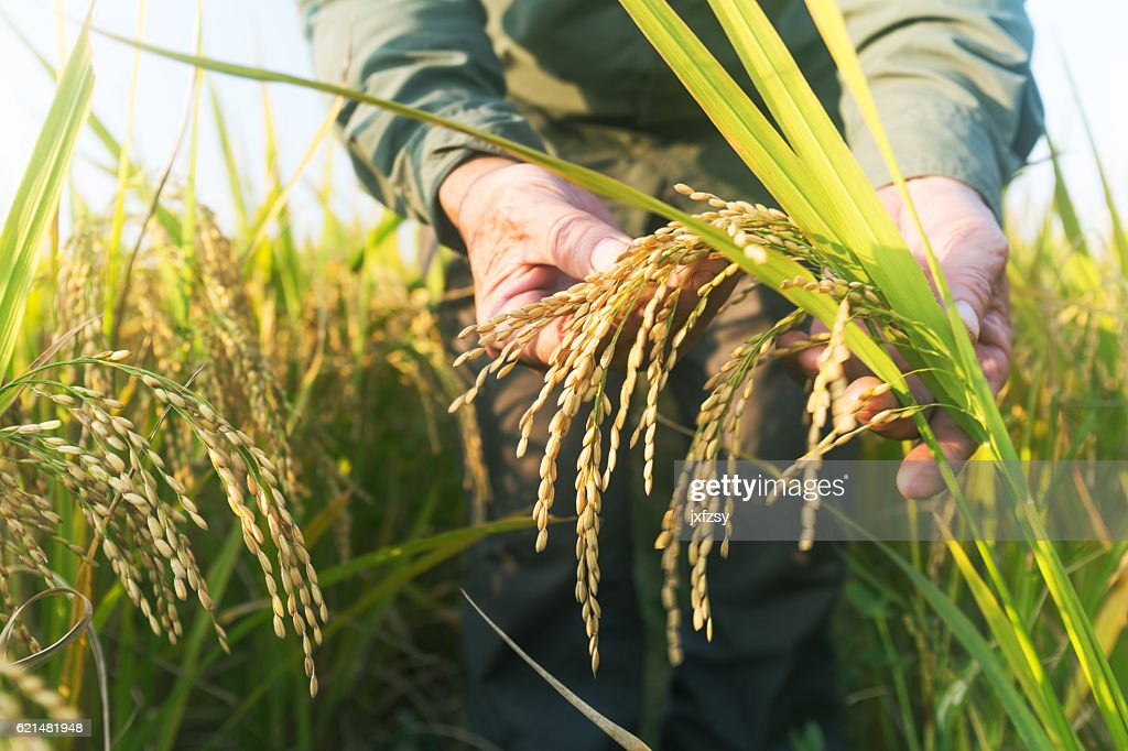 old man checking ripe rice in autumn : Foto de stock