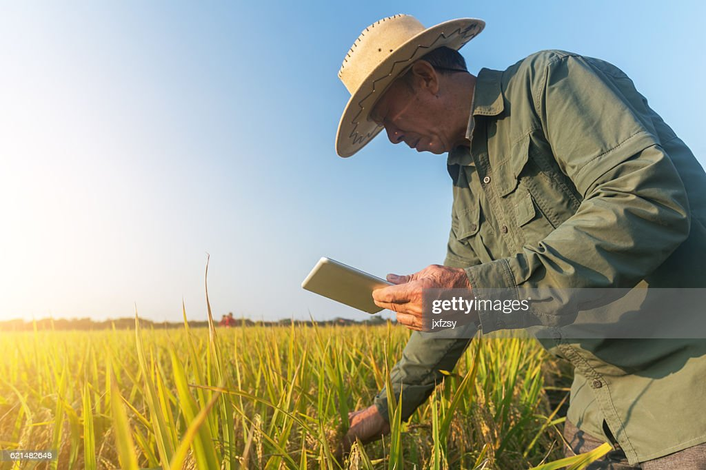 old man checking ripe rice in autumn : Stock Photo