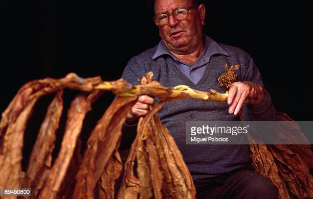 Old man drying tobacco