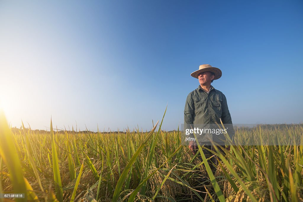 old man standing in the ripe rice in autumn : Stock Photo