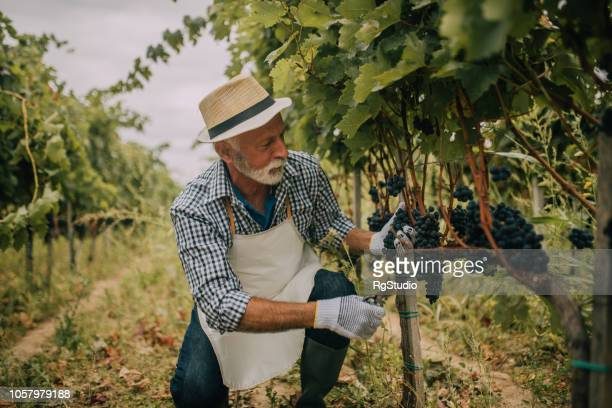 old man taking care of grape crops - grape harvest stock pictures, royalty-free photos & images