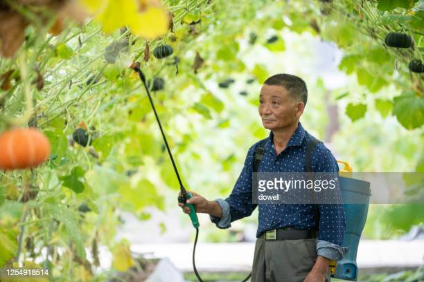 old man uses pest control sprayer in pumpkin field - pump dress shoe stock pictures, royalty-free photos & images