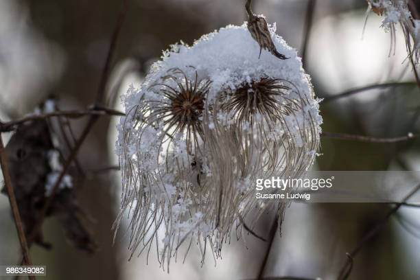 old man's beard - susanne ludwig stock pictures, royalty-free photos & images