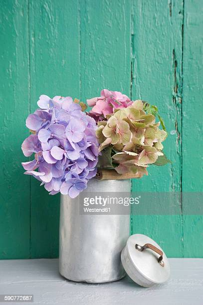 Old milk can with blossoms of hydrangea