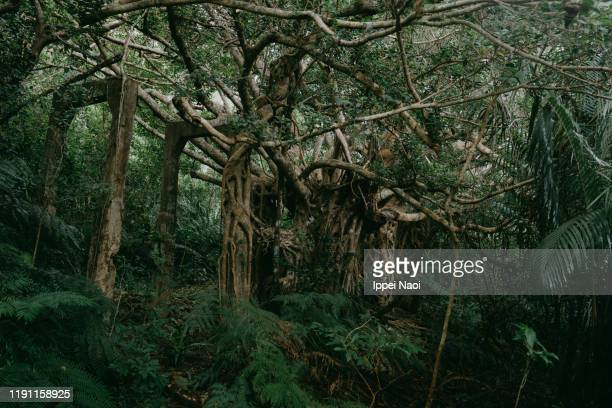 old mining village taken over by jungle, iriomote island, okinawa, japan - tropical rainforest stock pictures, royalty-free photos & images
