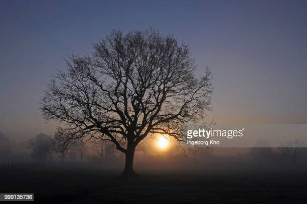 Old Oak (Quercus) at dawn, during sunrise, near Tangstedt, Schleswig-Holstein, Germany