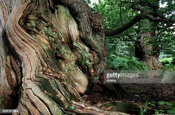 Old oak in woodland of Sherwood Forest Nottinghamshire UK