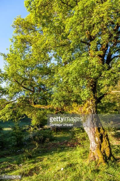 old oak tree at sunrise - comunidad foral de navarra fotografías e imágenes de stock