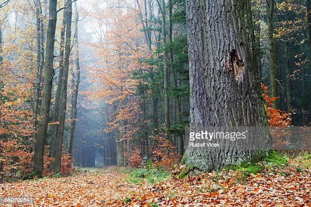 old oak tree, deciduous forest, autumn, fog - novembro imagens e fotografias de stock