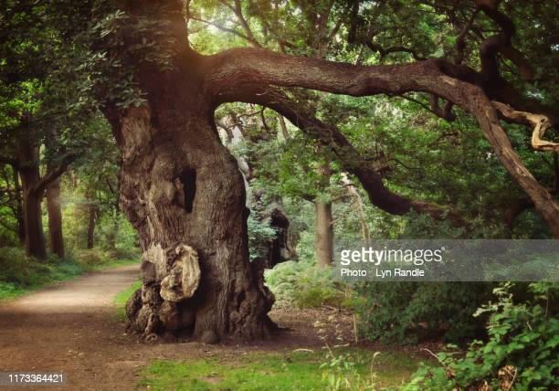 old oak tree - nottingham stock pictures, royalty-free photos & images