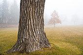Old Oak Tree Trunk in Autumn Fog at Park