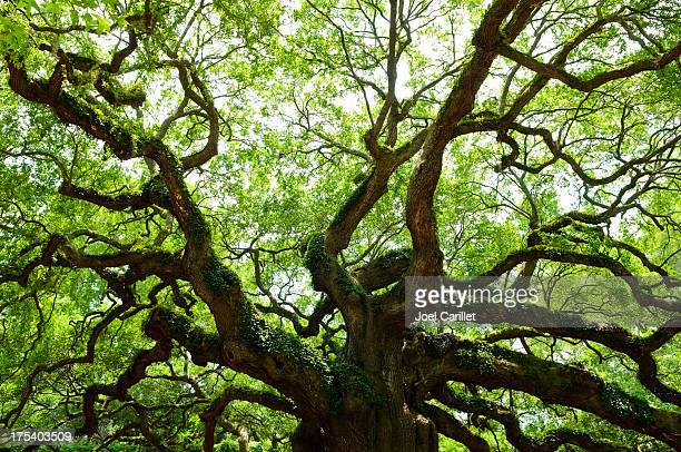 old oak tree with expansive branches - live oak tree stock pictures, royalty-free photos & images